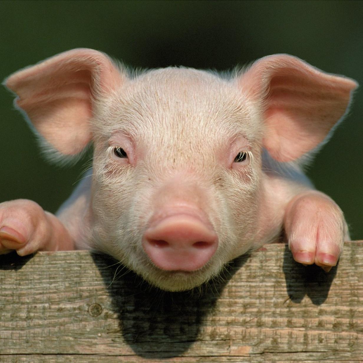 Schwein in China zu Bungee-Sprung gezwungen