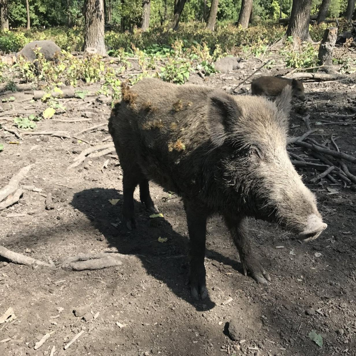 Afrikanische Schweinepest: Soldaten sollen Wildschweine jagen