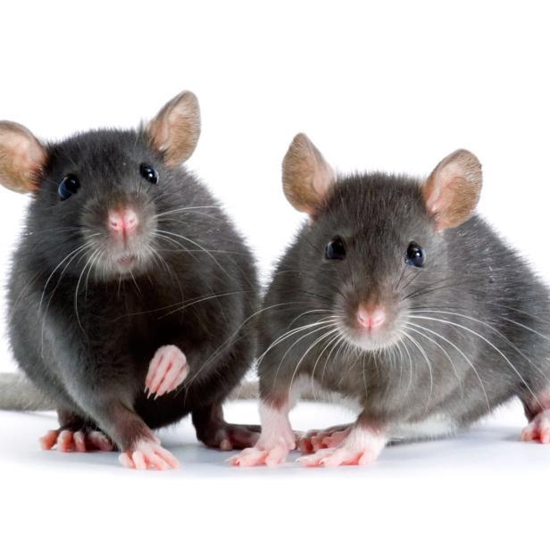 sind katzen eine hilfe gegen ratten. Black Bedroom Furniture Sets. Home Design Ideas