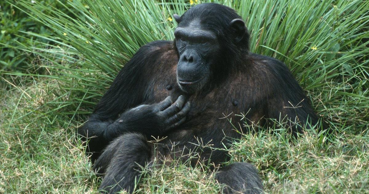 771b89b37f7e5 Gorillas und Schimpansen hautnah erleben