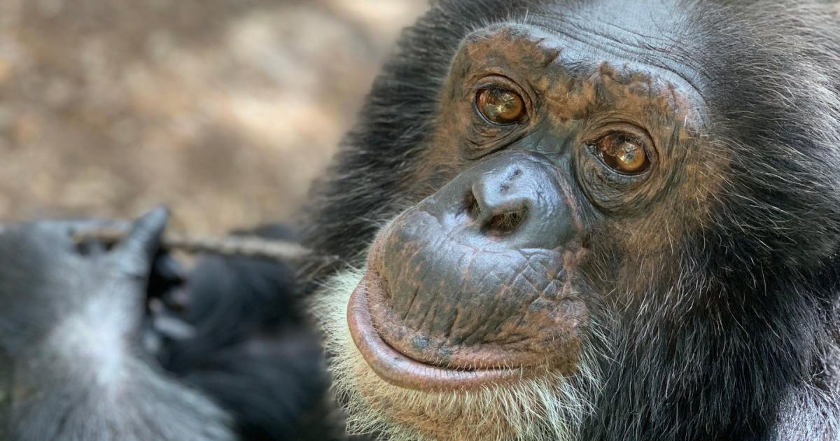Wie schlau sind Affen wirklich?