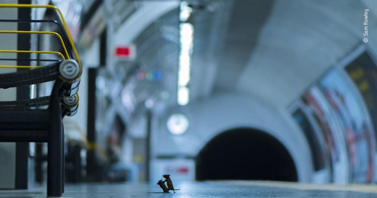 Bestes Tierfoto des Jahres: Kämpfende Mäuse in der U-Bahn