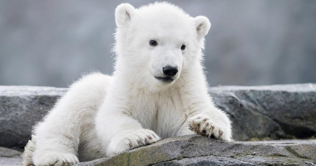 It's a girl! Wiener Eisbären-Baby ist ein Weibchen
