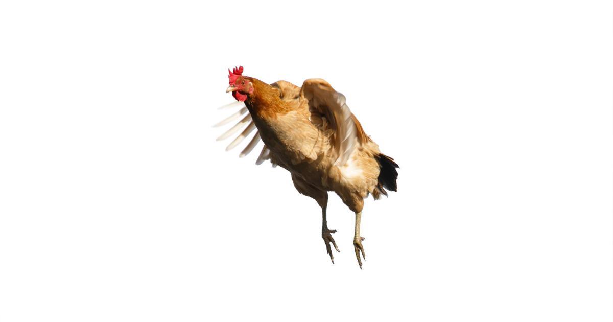Rettet die Hühner: Singapur erlaubt Hühnerfleisch aus dem Labor