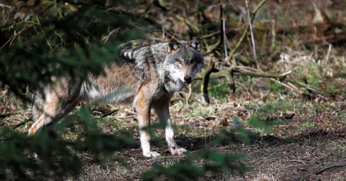 Wo sind die Wölfe hin?