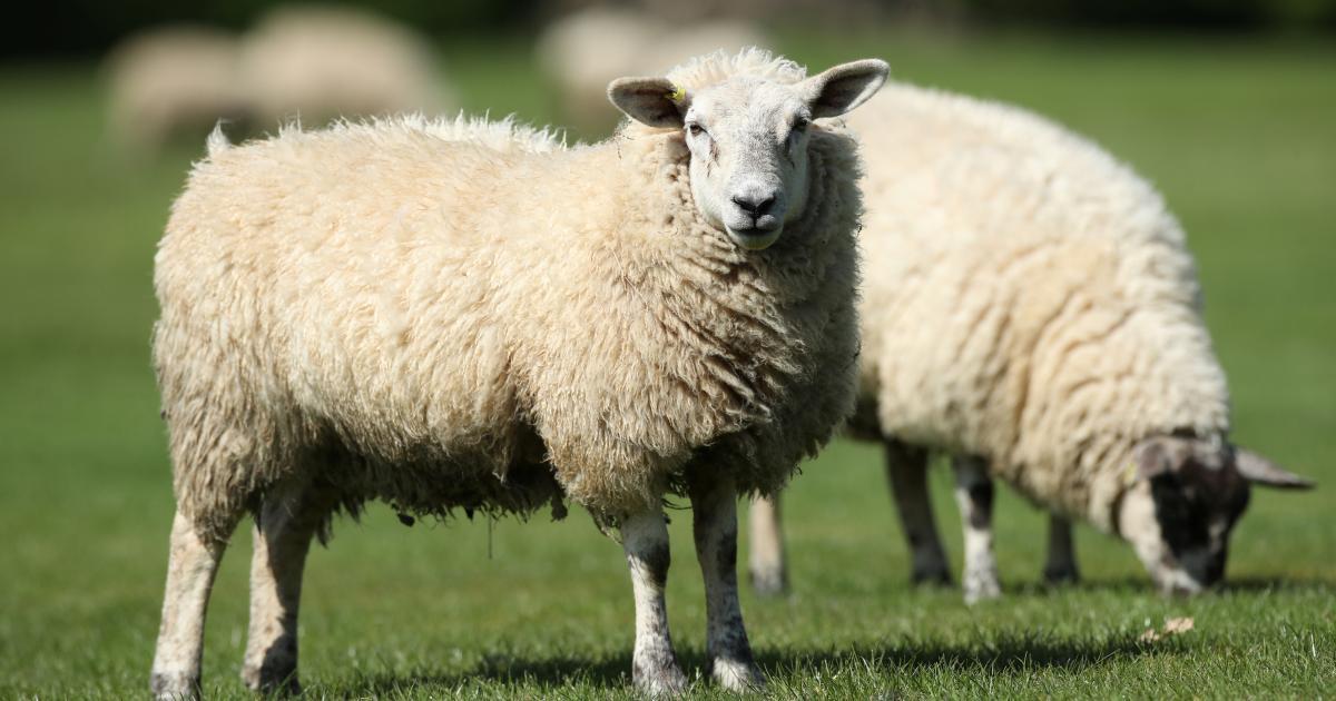 Britische Landwirte besorgt: Viehdiebstahl nimmt zu