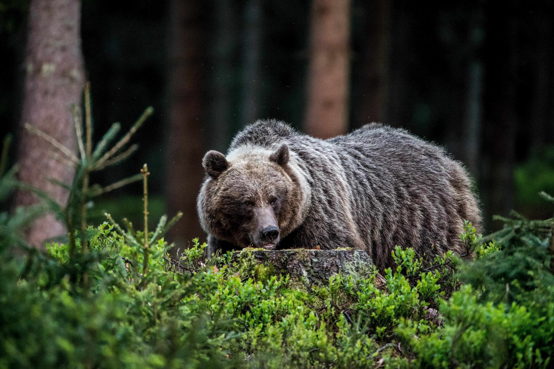 Berühmt Braunbär Malvorlagen Zum Ausdrucken Ideen - Malvorlagen Von ...
