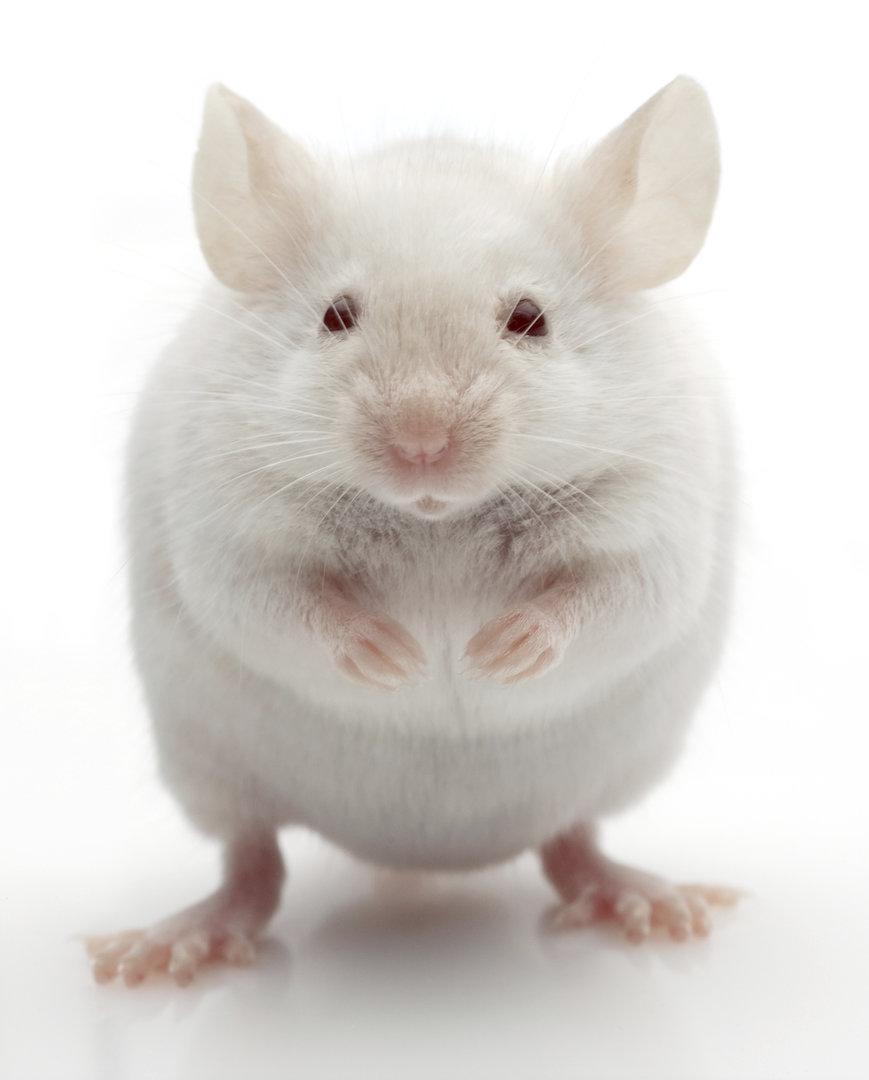 Tierversuch zeigt: Süßstoffe machen dick