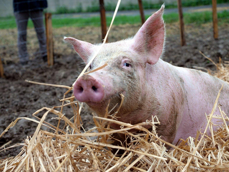 """Protest vor Schweinezuchtbetrieb: Streit um """"Mickey und Jackie"""""""
